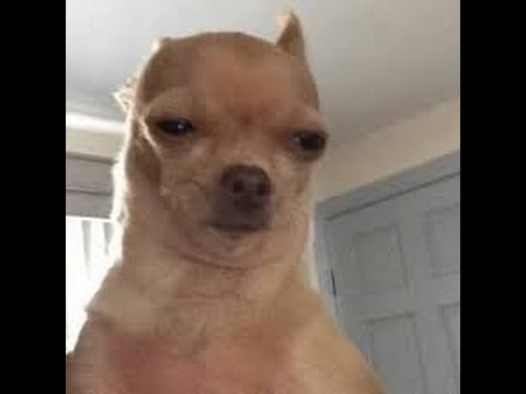 chihuahua stoned face / suspicious meme format